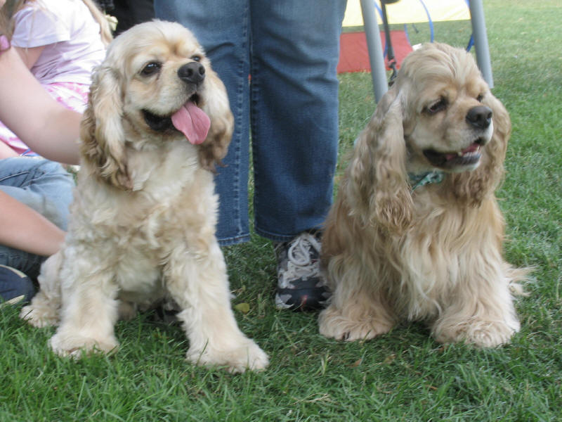 American Cocker Spaniel brothers