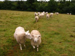 Sheep on a Hertfordshire Chain Walk from Little Berkhamsted